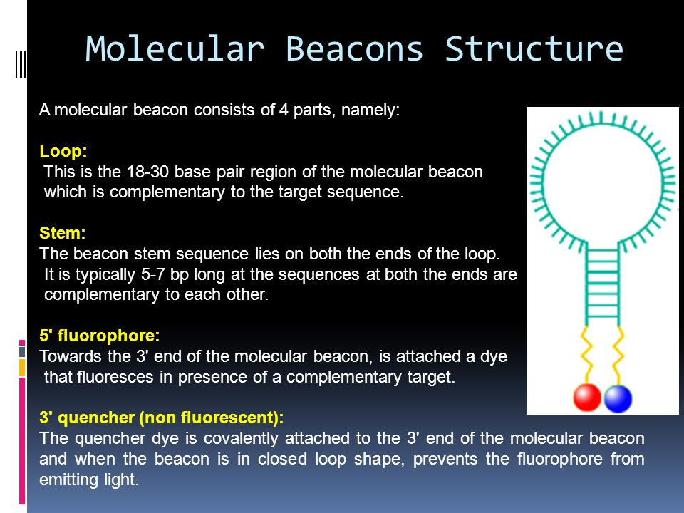 Molecular Beacons Structure A molecular beacon consists of 4 parts, namely: Loop: This is the 18-30 base pair region of the molecular beacon which is