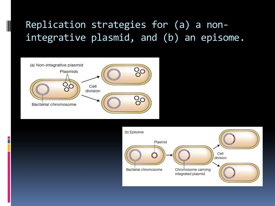 Replication strategies for (a) a non- integrative plasmid, and (b) an episome.