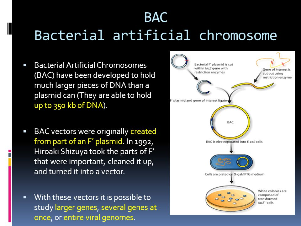 BAC Bacterial artificial chromosome  Bacterial Artificial Chromosomes (BAC) have been developed to hold much larger pieces of DNA than a plasmid can