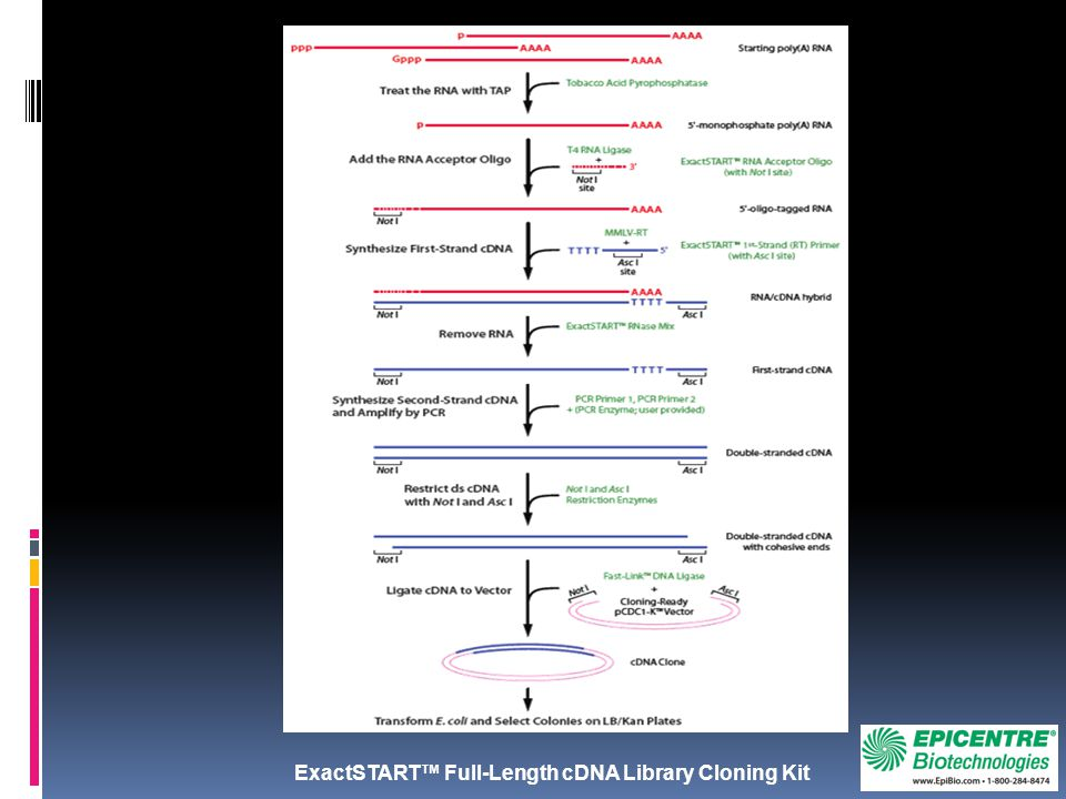 ExactSTART™ Full-Length cDNA Library Cloning Kit