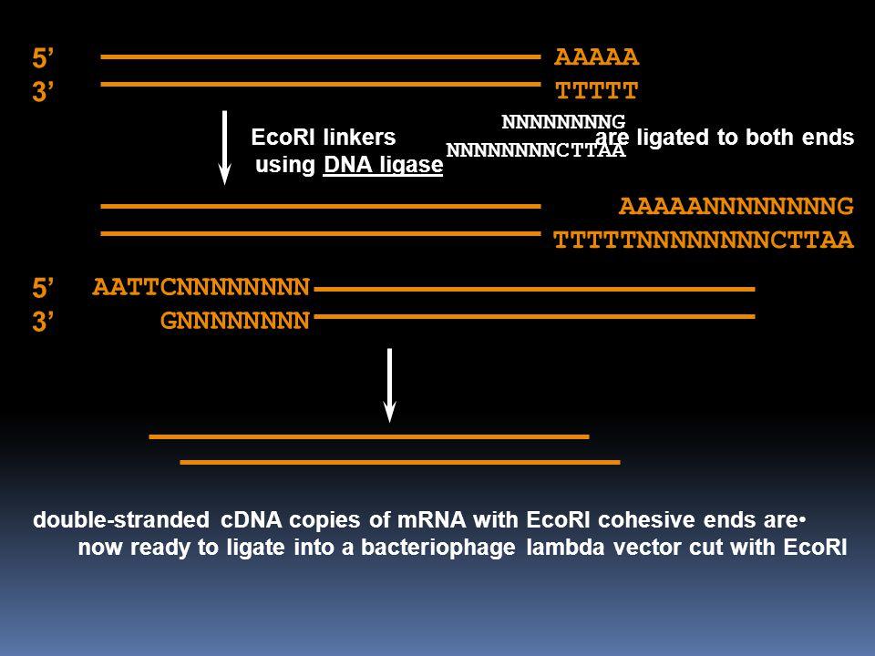 AAAAA TTTTT 5' 3' NNNNNNNNG NNNNNNNNCTTAA EcoRI linkers are ligated to both ends using DNA ligase AAAAANNNNNNNNG TTTTTNNNNNNNNCTTAA double-stranded cD
