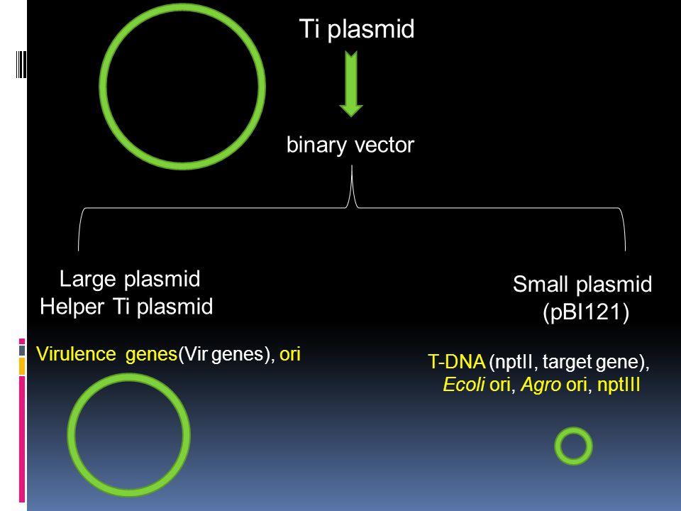 Ti plasmid binary vector Small plasmid (pBI121) Large plasmid Helper Ti plasmid T-DNA (nptII, target gene), Ecoli ori, Agro ori, nptIII Virulence gene