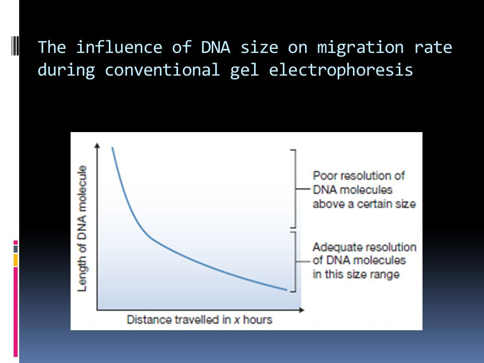 The influence of DNA size on migration rate during conventional gel electrophoresis
