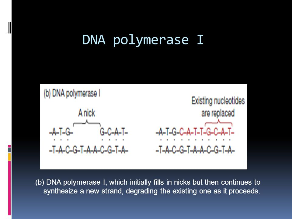 DNA polymerase I (b) DNA polymerase I, which initially fills in nicks but then continues to synthesize a new strand, degrading the existing one as it