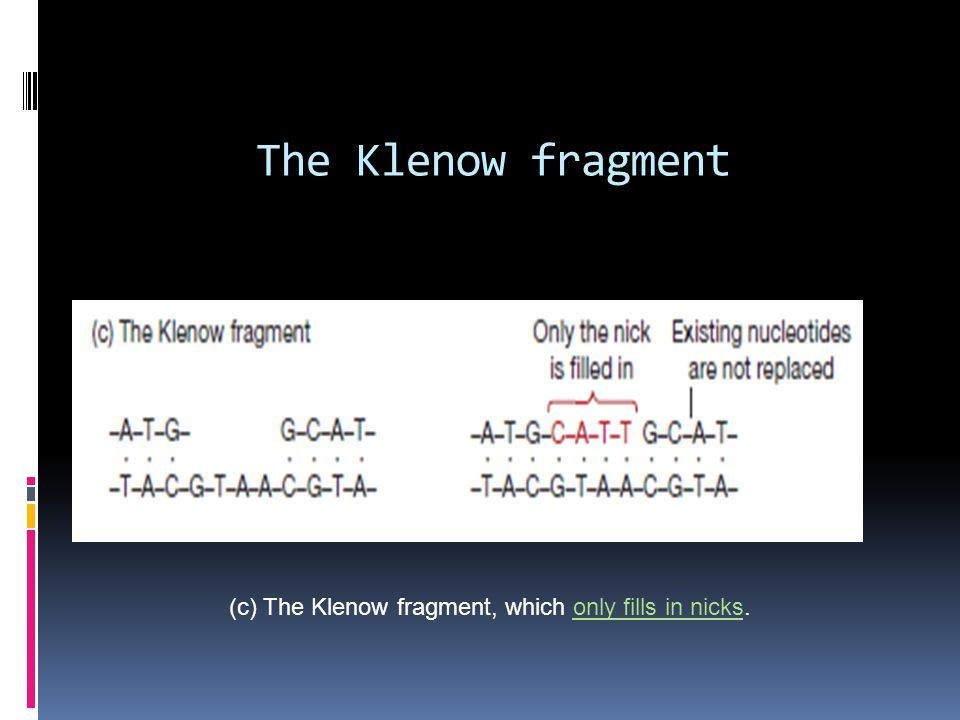 The Klenow fragment (c) The Klenow fragment, which only fills in nicks.