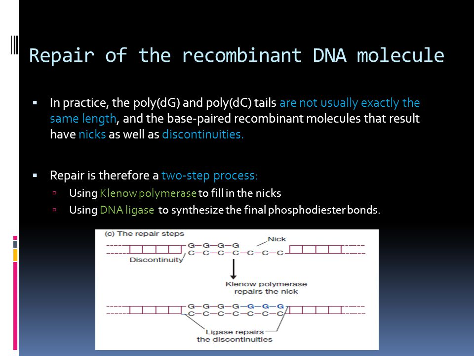 Repair of the recombinant DNA molecule  In practice, the poly(dG) and poly(dC) tails are not usually exactly the same length, and the base-paired rec