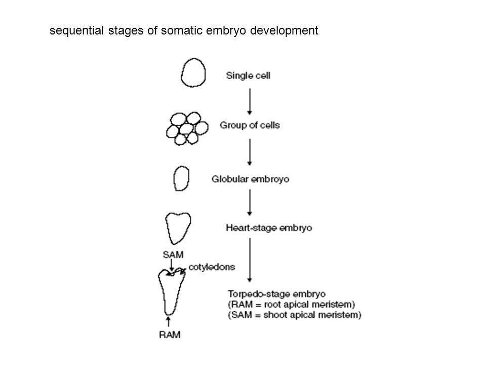 sequential stages of somatic embryo development