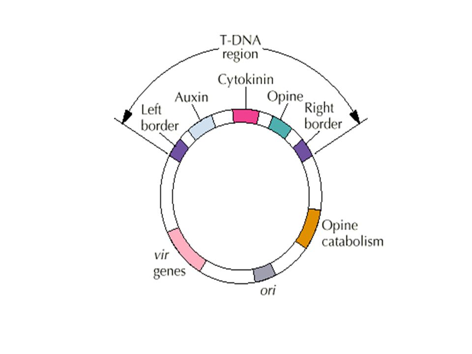 Genes within T-DNA 1. Enzymes to produce Auxin (iaa) 2. Enzyme to produce cytokinins 3. Genes for synthesis of Opines - carbon source for bacteria no