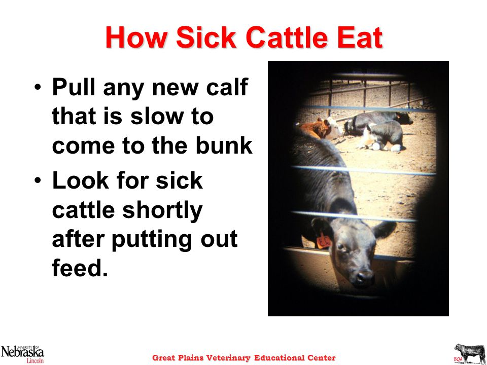 Great Plains Veterinary Educational Center How Sick Cattle Eat Pull any new calf that is slow to come to the bunk Look for sick cattle shortly after p