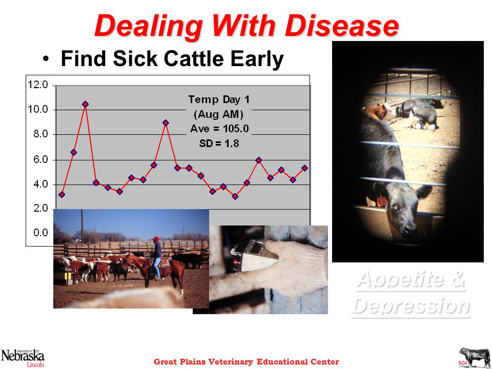 Great Plains Veterinary Educational Center Dealing With Disease Find Sick Cattle Early Appetite & Depression