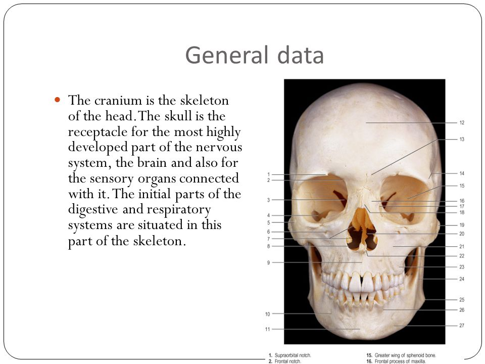 General data The cranium is the skeleton of the head.