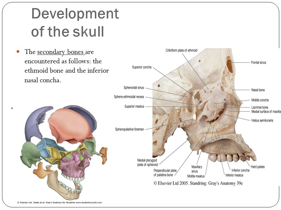 Development of the skull The secondary bones are encountered as follows: the ethmoid bone and the inferior nasal concha.