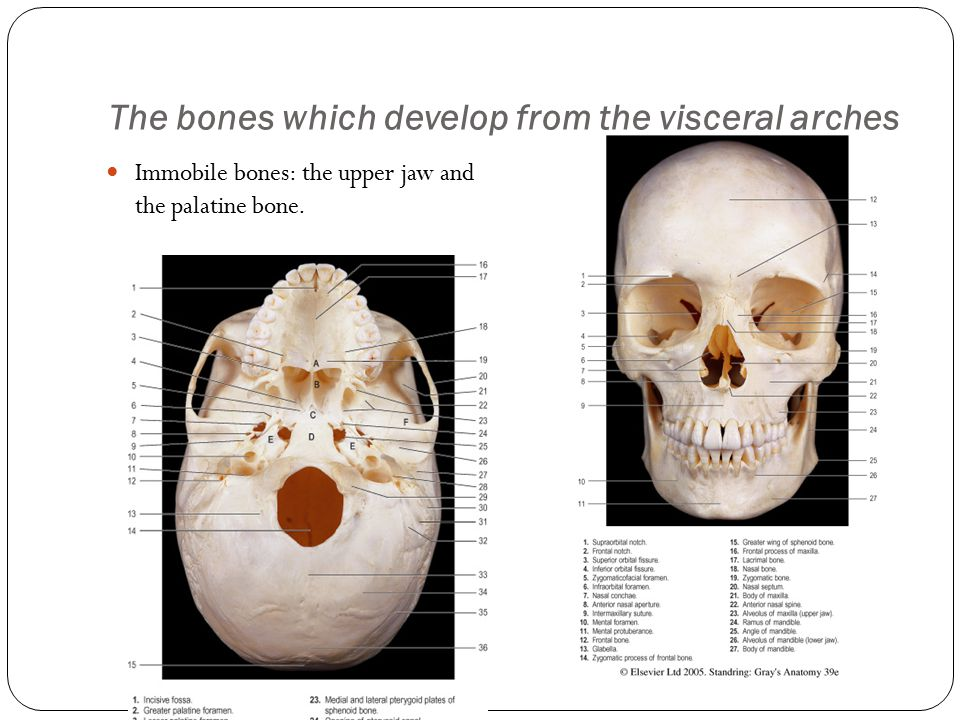 The bones which develop from the visceral arches Immobile bones: the upper jaw and the palatine bone.