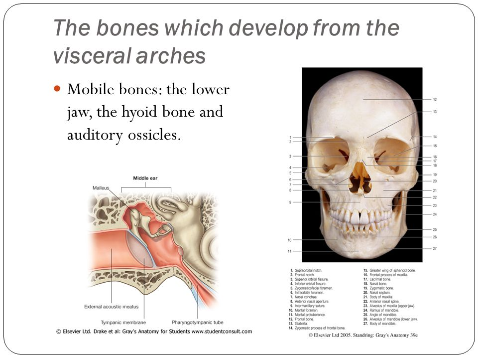 The bones which develop from the visceral arches Mobile bones: the lower jaw, the hyoid bone and auditory ossicles.