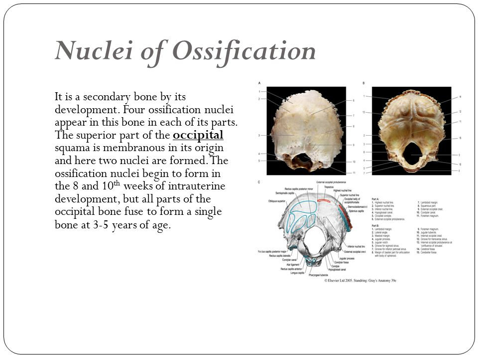 Nuclei of Ossification It is a secondary bone by its development.