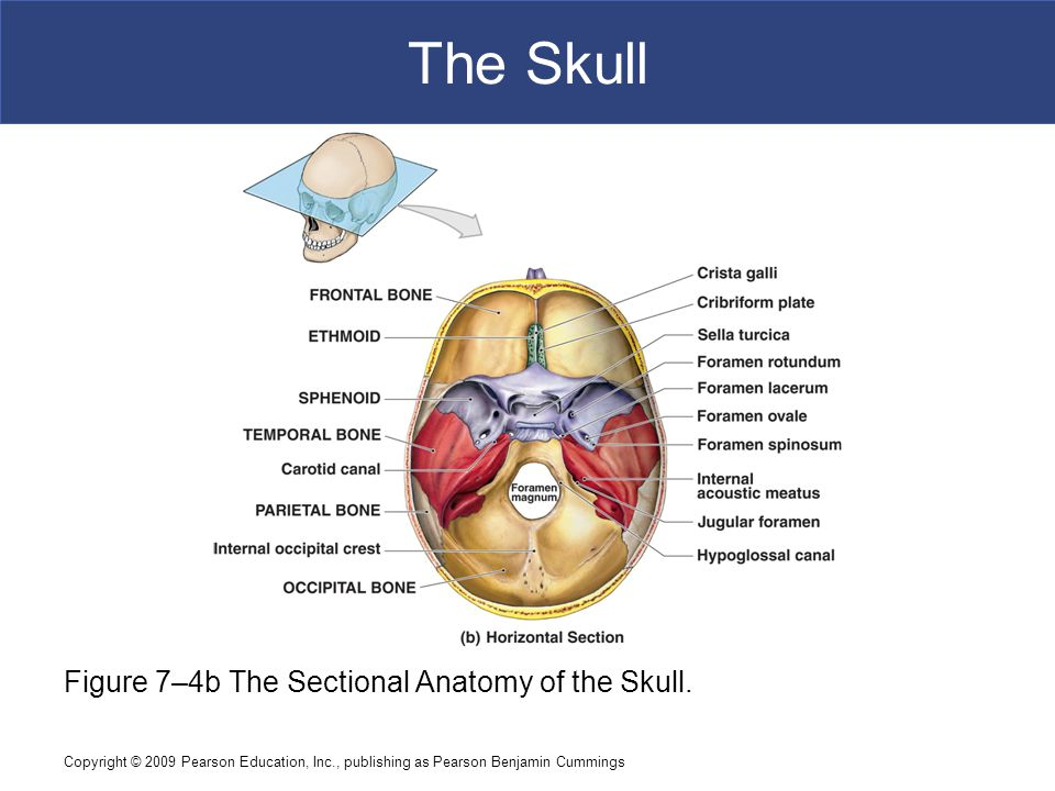 Copyright © 2009 Pearson Education, Inc., publishing as Pearson Benjamin Cummings The Skull Figure 7–4b The Sectional Anatomy of the Skull.