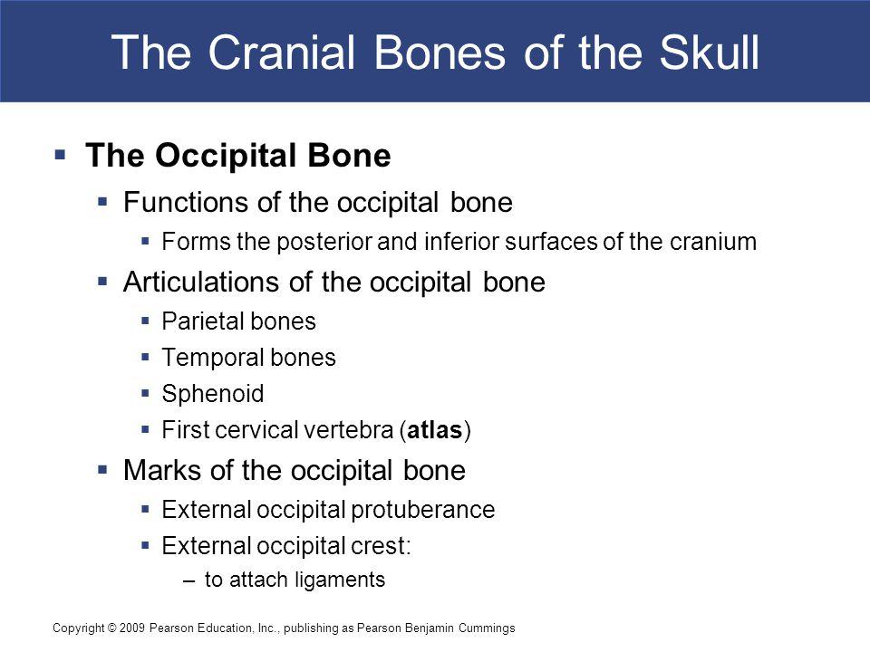 Copyright © 2009 Pearson Education, Inc., publishing as Pearson Benjamin Cummings The Cranial Bones of the Skull  The Occipital Bone  Functions of the occipital bone  Forms the posterior and inferior surfaces of the cranium  Articulations of the occipital bone  Parietal bones  Temporal bones  Sphenoid  First cervical vertebra (atlas)  Marks of the occipital bone  External occipital protuberance  External occipital crest: –to attach ligaments