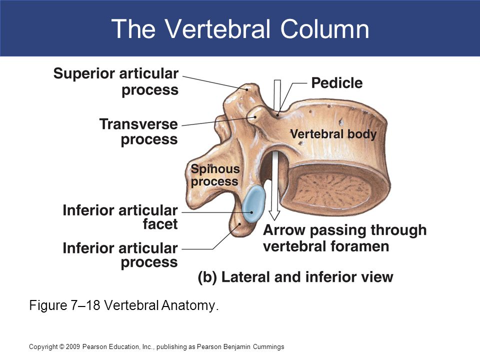 Copyright © 2009 Pearson Education, Inc., publishing as Pearson Benjamin Cummings The Vertebral Column Figure 7–18 Vertebral Anatomy.