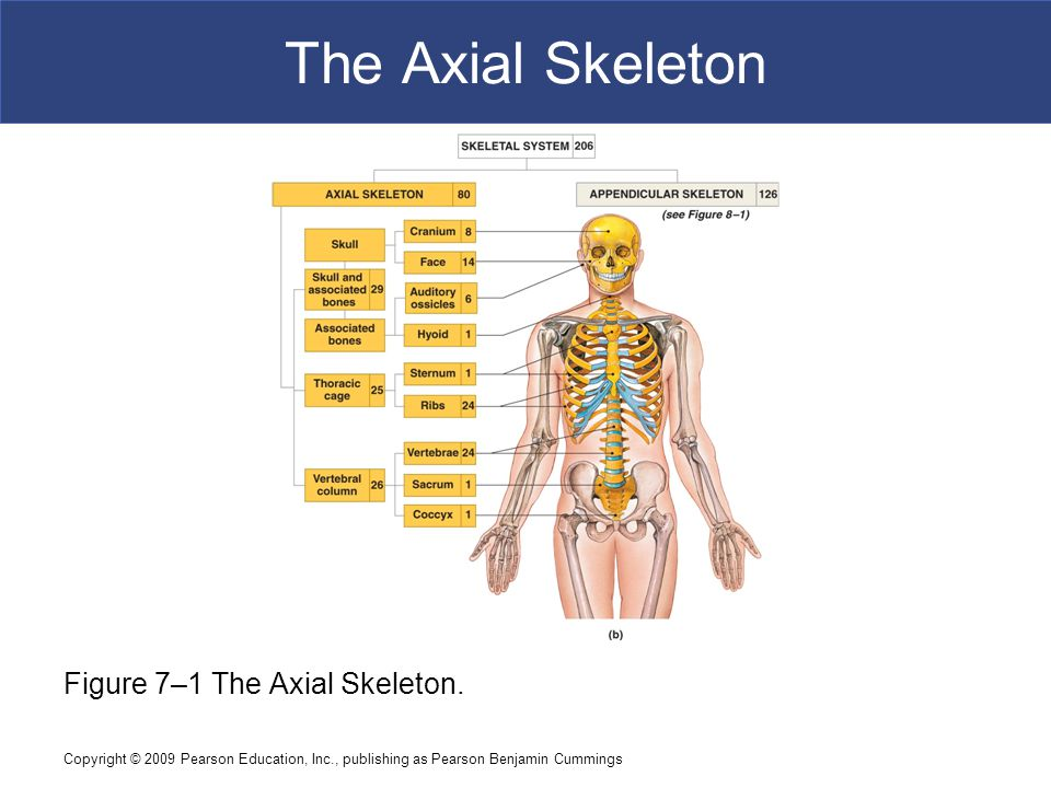 Copyright © 2009 Pearson Education, Inc., publishing as Pearson Benjamin Cummings The Axial Skeleton Figure 7–1 The Axial Skeleton.