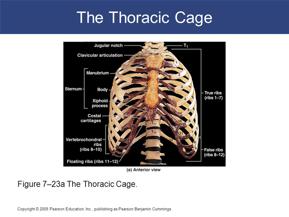 Copyright © 2009 Pearson Education, Inc., publishing as Pearson Benjamin Cummings The Thoracic Cage Figure 7–23a The Thoracic Cage.