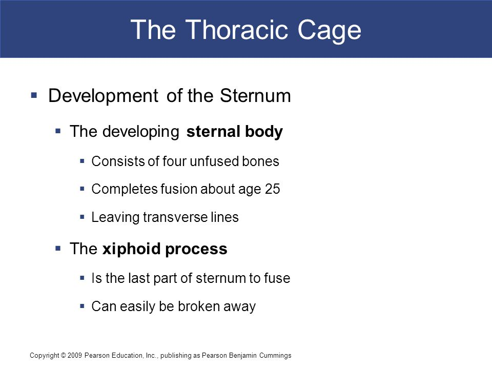 Copyright © 2009 Pearson Education, Inc., publishing as Pearson Benjamin Cummings The Thoracic Cage  Development of the Sternum  The developing sternal body  Consists of four unfused bones  Completes fusion about age 25  Leaving transverse lines  The xiphoid process  Is the last part of sternum to fuse  Can easily be broken away