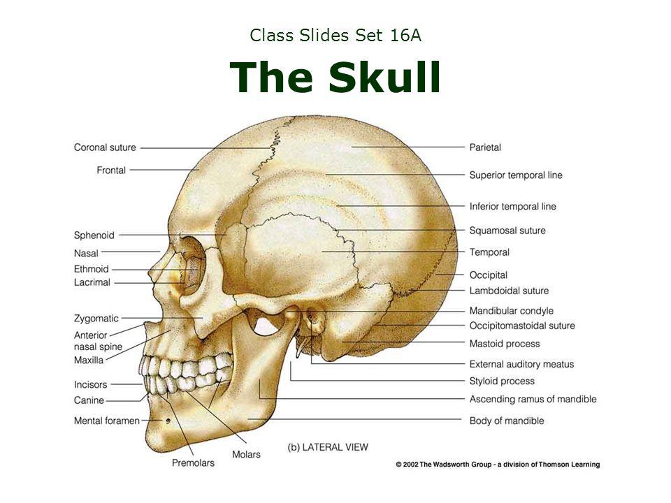 Class Slides Set 16A The Skull