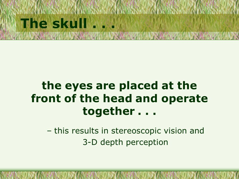 The skull... the eyes are placed at the front of the head and operate together...