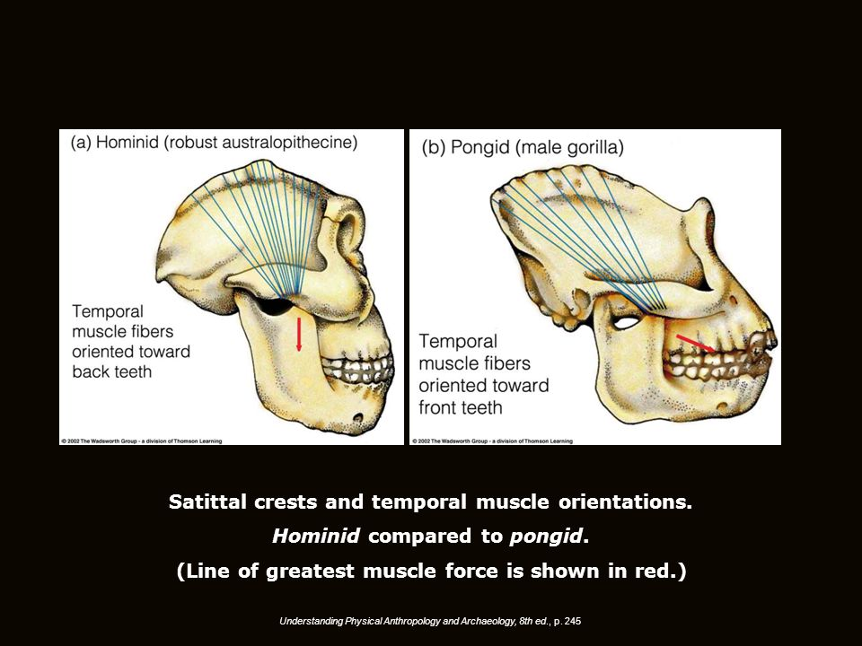 Understanding Physical Anthropology and Archaeology, 8th ed., p. 245 Satittal crests and temporal muscle orientations. Hominid compared to pongid. (Li