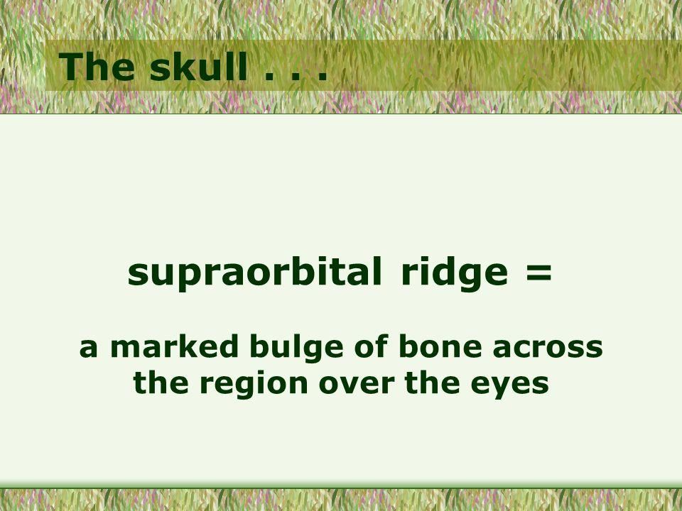 The skull... supraorbital ridge = a marked bulge of bone across the region over the eyes