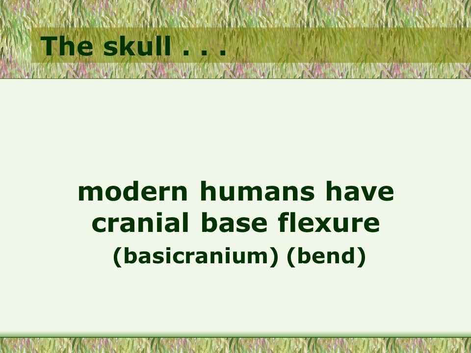 The skull... modern humans have cranial base flexure (basicranium) (bend)