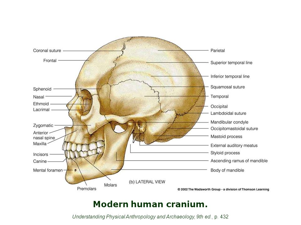 Modern human cranium. Understanding Physical Anthropology and Archaeology, 9th ed., p. 432