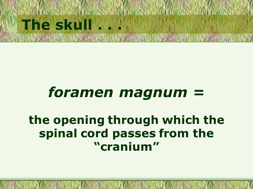 """The skull... foramen magnum = the opening through which the spinal cord passes from the """"cranium"""""""