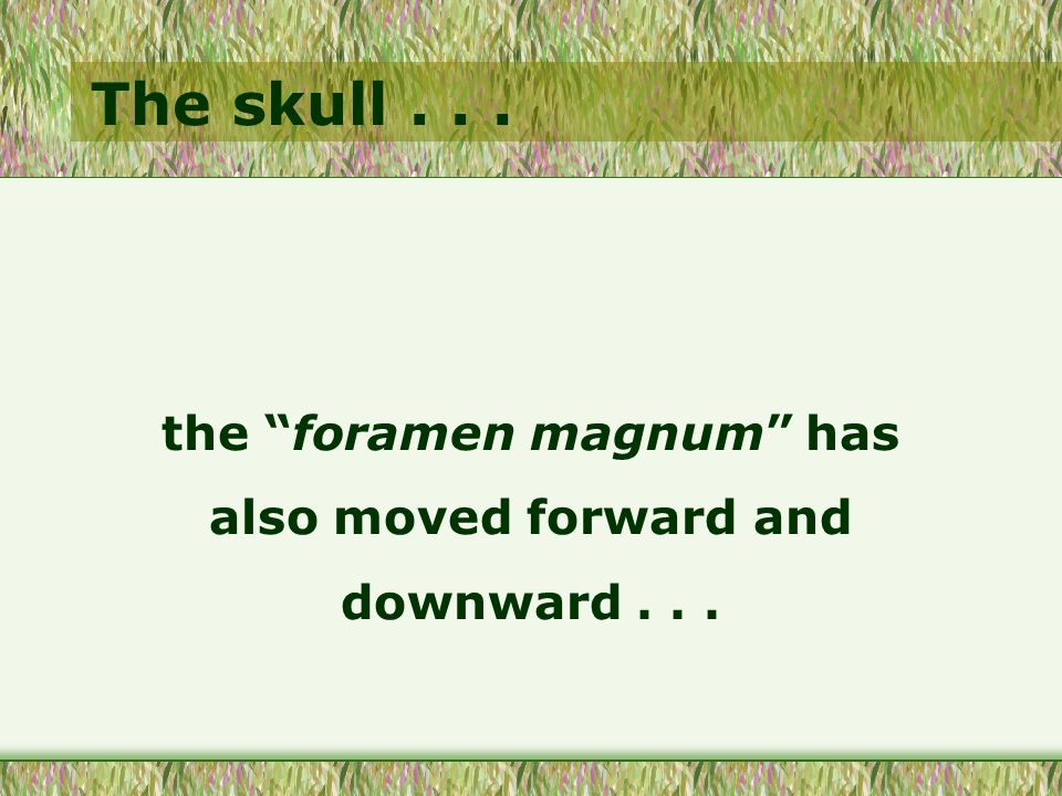 """The skull... the """"foramen magnum"""" has also moved forward and downward..."""