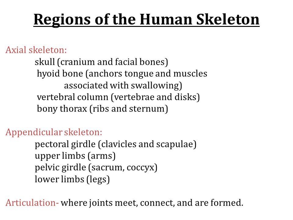 Axial skeleton: skull (cranium and facial bones) hyoid bone (anchors tongue and muscles associated with swallowing) vertebral column (vertebrae and di