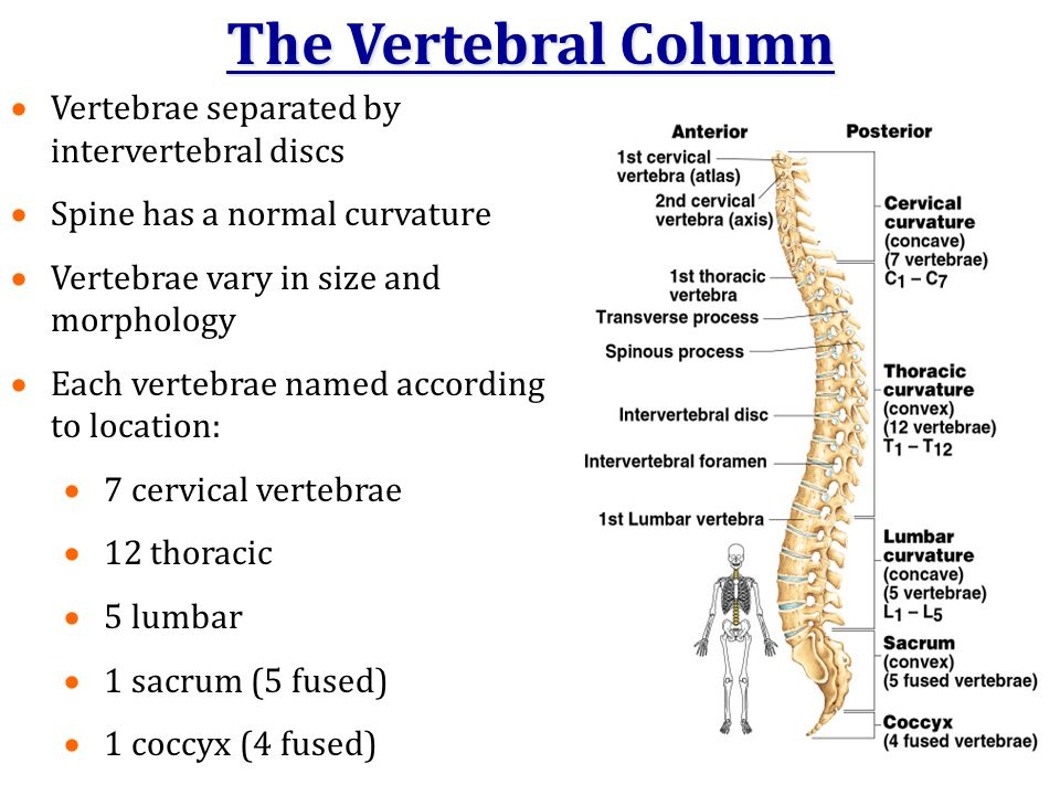 The Vertebral Column  Vertebrae separated by intervertebral discs  Spine has a normal curvature  Vertebrae vary in size and morphology  Each verte