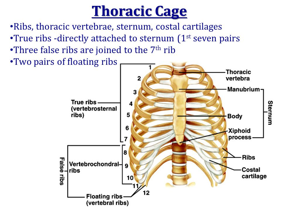 Ribs, thoracic vertebrae, sternum, costal cartilages True ribs -directly attached to sternum (1 st seven pairs Three false ribs are joined to the 7 th