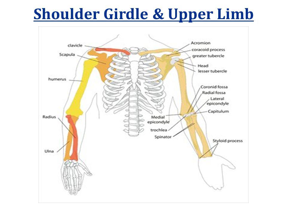 Shoulder Girdle & Upper Limb