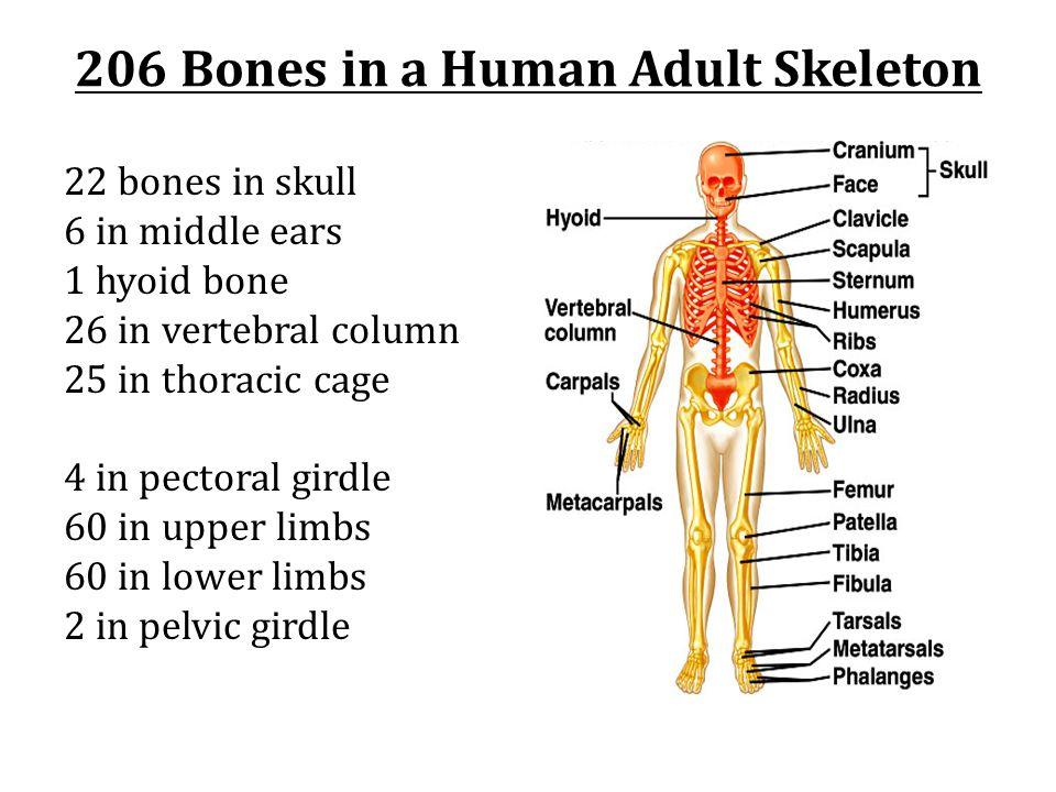 22 bones in skull 6 in middle ears 1 hyoid bone 26 in vertebral column 25 in thoracic cage 4 in pectoral girdle 60 in upper limbs 60 in lower limbs 2