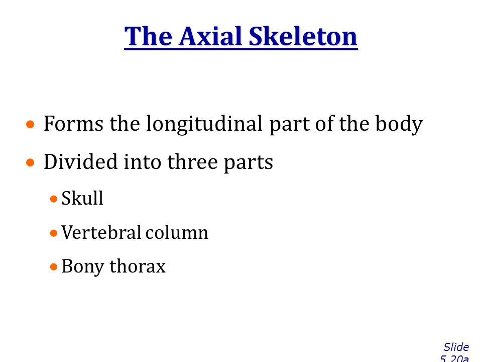 The Axial Skeleton Slide 5.20a  Forms the longitudinal part of the body  Divided into three parts  Skull  Vertebral column  Bony thorax