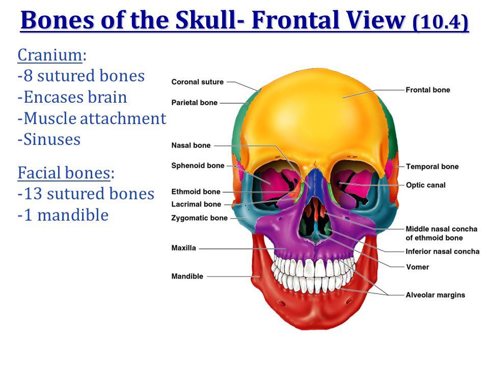 Bones of the Skull- Frontal View (10.4) Cranium: -8 sutured bones -Encases brain -Muscle attachment -Sinuses Facial bones: -13 sutured bones -1 mandib