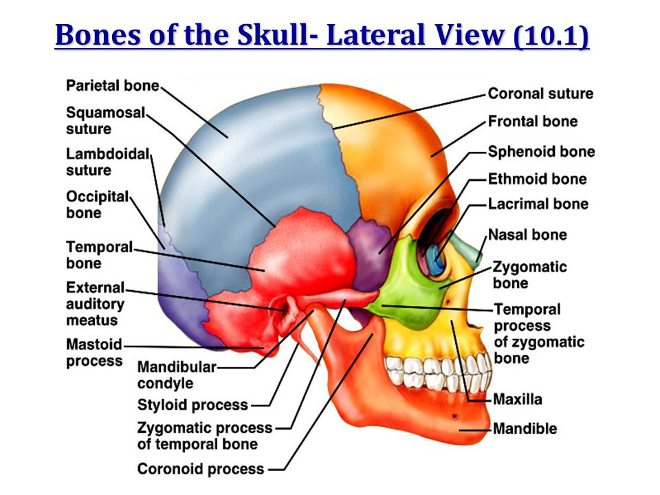 Bones of the Skull- Lateral View (10.1)