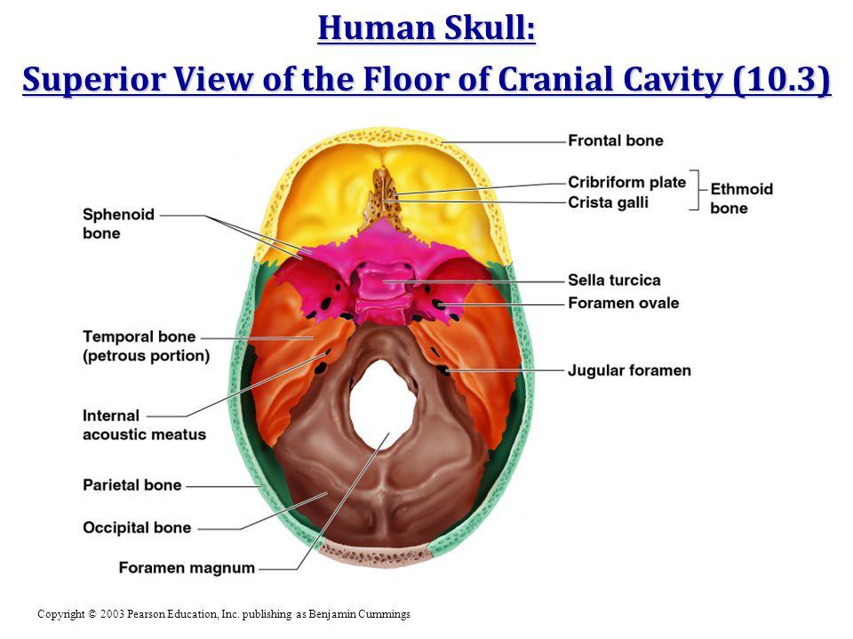 Human Skull: Superior View of the Floor of Cranial Cavity (10.3) Copyright © 2003 Pearson Education, Inc. publishing as Benjamin Cummings