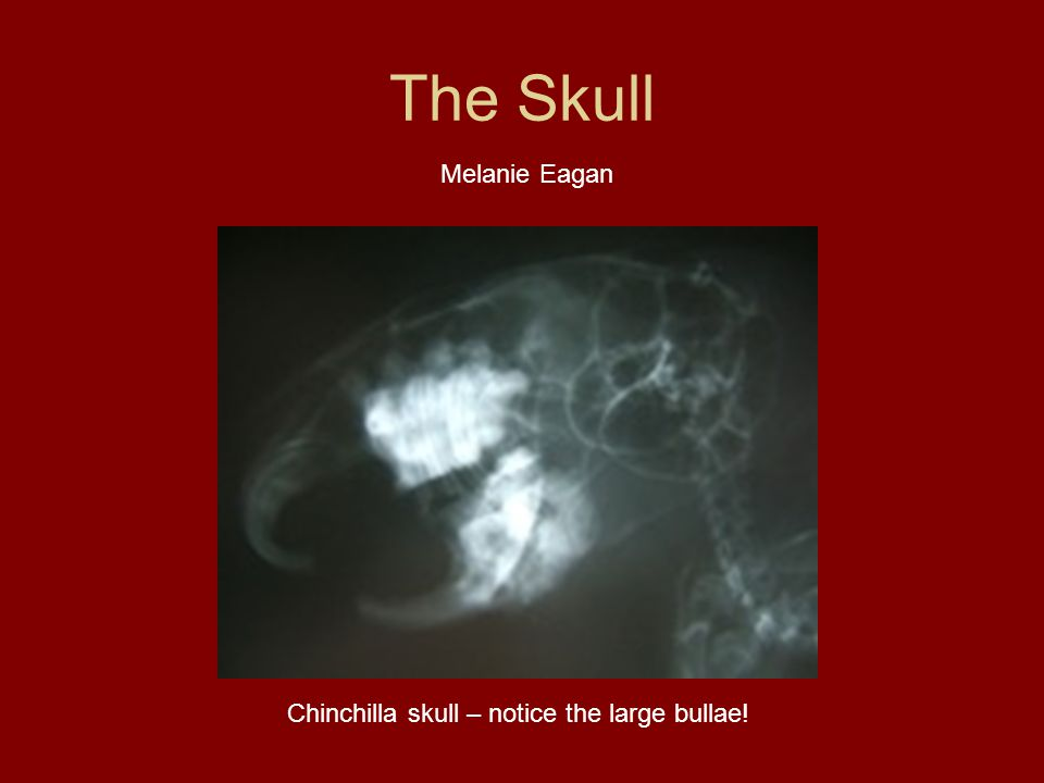 The Skull Chinchilla skull – notice the large bullae! Melanie Eagan