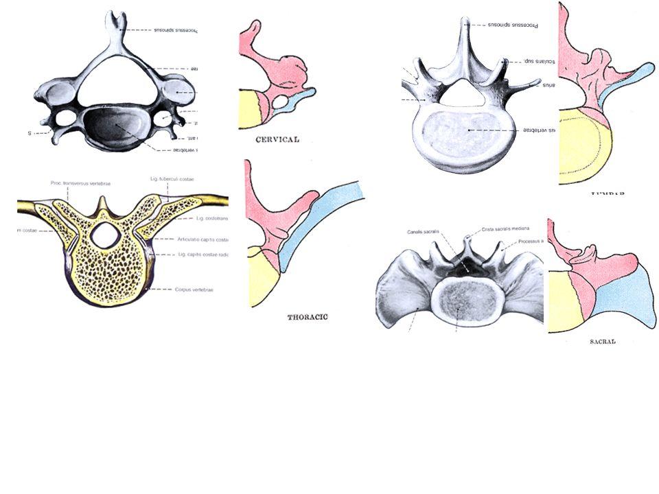 The development of the skull - Viscerocranium (Splanchnocranium = visceral skull, facial skeleton) - Neurocranium (around the brain) Bones can develop by - enchondral ossification (base of skull + some facial bones): chondrocranium - intramembranous (calvaria + mandible, maxilla etc.): desmocranium Sources: the embryonic tissue around the developing brain: The first 4 occipital somites  lat.