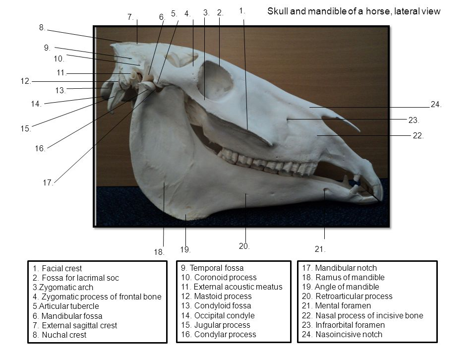 Skull and mandible of a horse, lateral view 1. Facial crest 2.