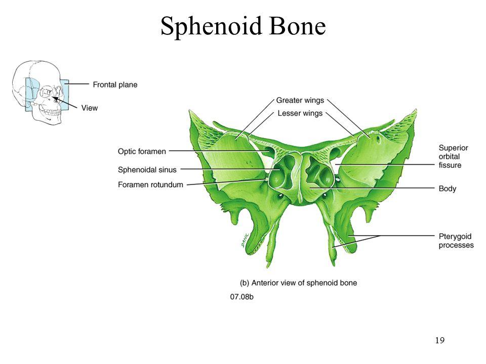 sphenoid bone labeled, Human Body