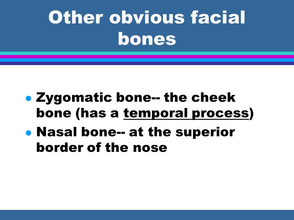 Other obvious facial bones l Zygomatic bone-- the cheek bone (has a temporal process) l Nasal bone-- at the superior border of the nose