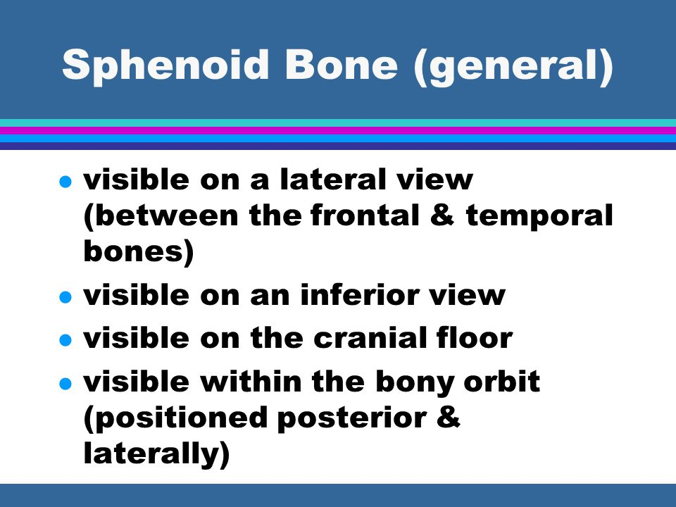 Sphenoid Bone (general) l visible on a lateral view (between the frontal & temporal bones) l visible on an inferior view l visible on the cranial floo