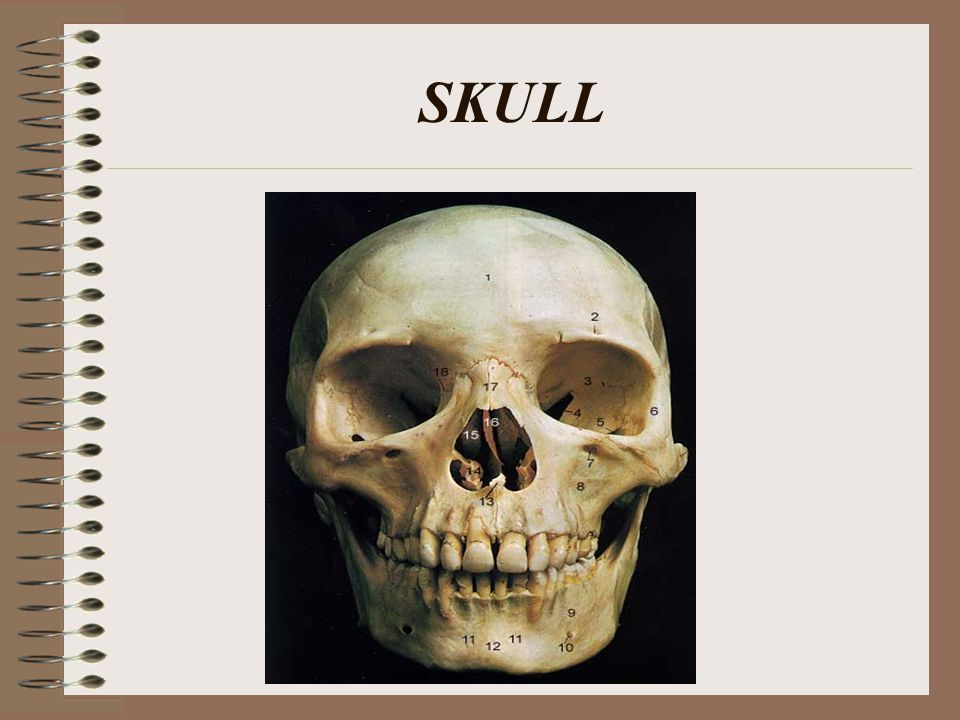 HUMAN SKULL Consists of 22 bones 8 of these bones make up the cranium 14 form the facial skeleton.