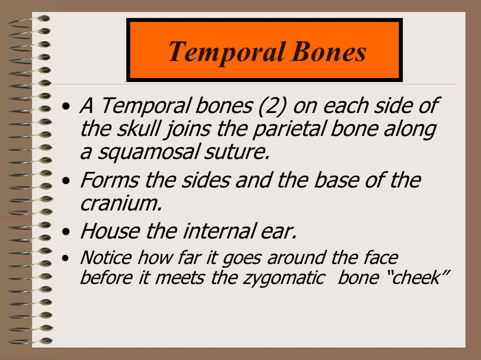 A Temporal bones (2) on each side of the skull joins the parietal bone along a squamosal suture. Forms the sides and the base of the cranium. House th